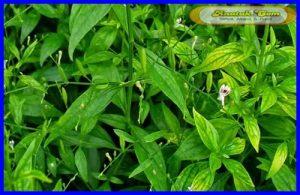Obat Flek Paru Anak Herbal