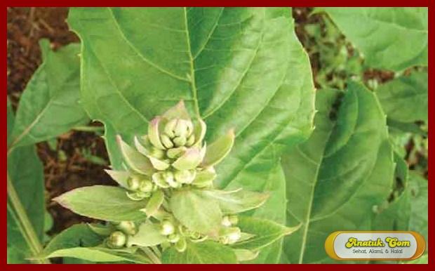 obat batuk kering tradisional